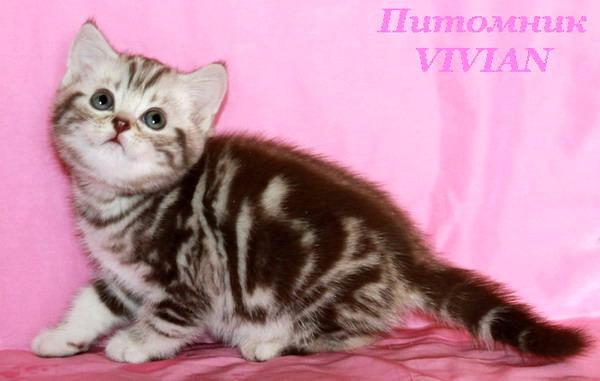 Британские котята чёрный мрамор из питомника